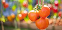 Fresh Red Ripe Tomatoes Hangin...