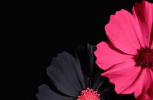 Kosmeya Flower On Black Backgr...