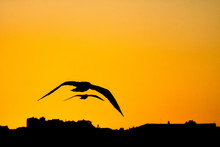 Two Seagulls Flying On Orange Sky At Sunset