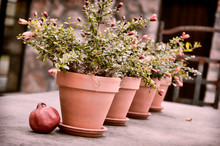 Pomegranate By Potted Plants