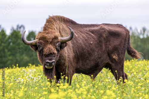 Valokuvatapetti Bisons on a meadow in the Bialowieza National Park.