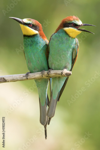 European bee-eater (Merops apiaster), wildlife colorful bee eater bird in natura Canvas Print