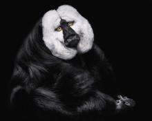 White Faced Saki Monkey Against Black Background
