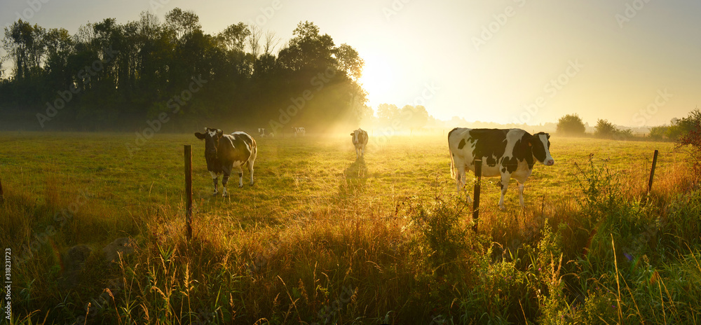 Fototapeta Cows on sunrise meadow