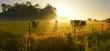 Cows on sunrise meadow