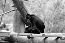 Portrait Of Spider Monkey Sitt...