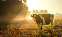 The Cow And Sunrise Meadow