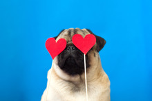 Cute Dog Pug Wearing Red Paper Hearts On Eyes. Strong Love Concept