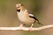 Hawfinch (Coccothraustes Coccothraustes) Passerine Bird In Finch Family, Close Up Photo