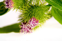 Burdock Folk Herbalists Consid...