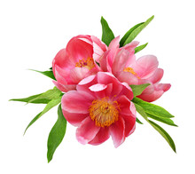 Three Coral Peony Flowers With...