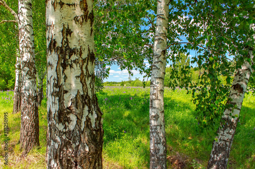 Photo Birchwood in a sunny summer day in Russia. Natural background.