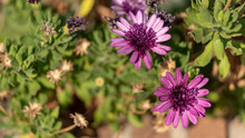 Two Purple Marigold Flowers On A Sunny Day