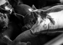 Pigs In Pen