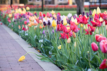 Frosty Tulip Bed In Pella Iowa