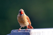 Close-Up Of Female Northern Cardinal Perching On Railing