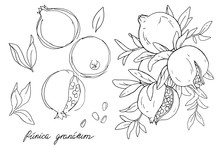 Ripe Fruit Of Pomegranate On A Branch Is Isolated On A White Background. Vector Illustration Of Pomegranate With Leaves. Hand Drawn Sketch Painting