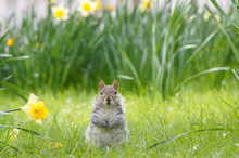 Grey Squirrel Surrounded By Bl...
