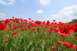 Gorgeous floral background strewn with red poppies