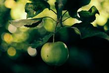 Close-Up Of Granny Smith Apple...