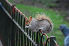 Squirrel And Pigeon On Fence