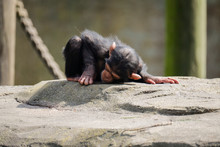BABY CHIMPANZEE IN A ZOO