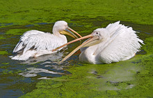 Closeup Of White Pelicans (Pelecanus Onocrotalus) On The Water, The Open Beak