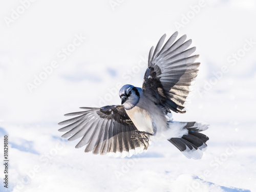 Fotografiet Blue Jay Landing on Snow in Winter