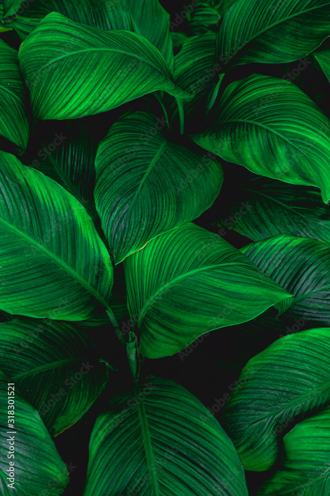 Fototapeta leaves of Spathiphyllum cannifolium, abstract green texture, nature background, tropical leaf