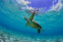 沖縄のビーチで泳ぐウ...
