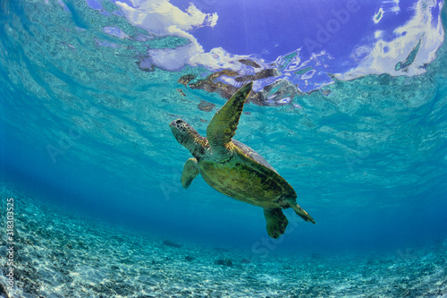 Photo 沖縄のビーチで泳ぐウミガメ