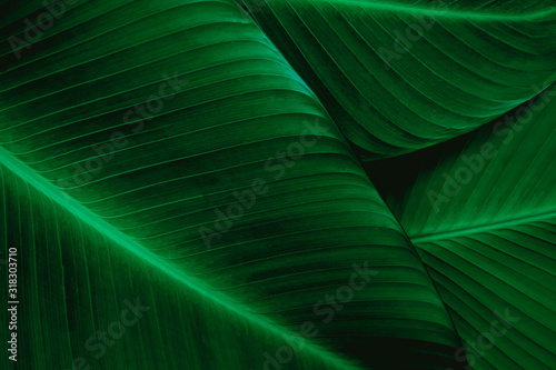 Fototapete - closeup banana leaf texture in garden, abstract green leaf, large palm foliage nature dark green background