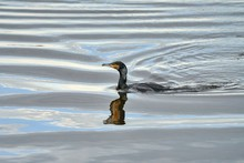 Swimming Cormorant With A Warp...