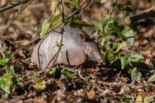 Nine-banded Armadillo Looking For A Meal