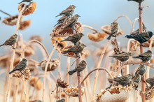 Flock Of Red-winged Blackbirds On Sunflowers