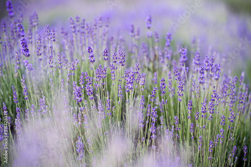 Lavender Field in the summer. Aromatherapy. Nature Cosmetics. #318328374