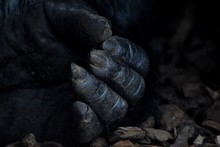 Cropped Image Of Gorilla Hand ...