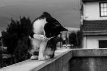 Cat Licking Paw While Sitting On Retaining Wall