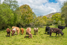Cattle Grazing In A Field At W...