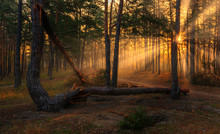 Forest. Good Autumn Morning. The Sun's Rays Play In The Branches Of Trees. Pleasant Walk In The Nature.