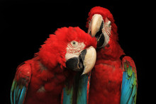 Close-Up Of Red Macaws Against Black Background