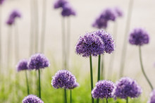 Purple Allium Ball Head Flowers
