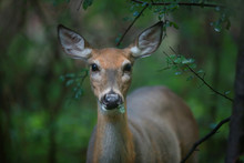 White-tailed Deer In The Forest Eating Leaves