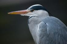 Profile Of A Gray Heron On A W...