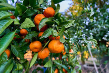 A Branch Of Orange Fresh Ripe ...