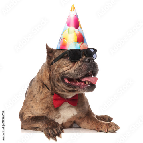 smiling american bully wearing birthday hat and sunglasses Wallpaper Mural