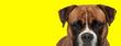 Leinwanddruck Bild - boxer dog with brown fur posing with big eyes