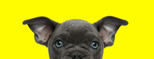 American Bully Dog With Brown ...