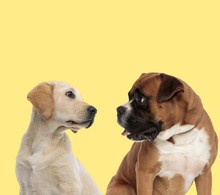 Labrador Retriever And Boxer D...