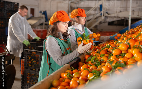 Fototapeta Employees controlling quality of ripe tangerines obraz